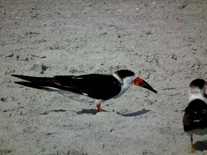 A la plage de Cocoa Beach 2 DSCF2537_zpsmrndrvfh