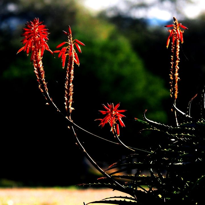 Aloe vera au jardin P7150030_zpsedeb0wmw