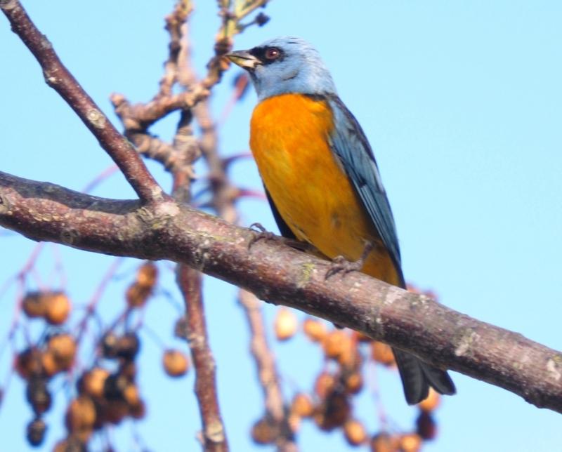 Naranjero au repas P9070007_zps3scvrbka