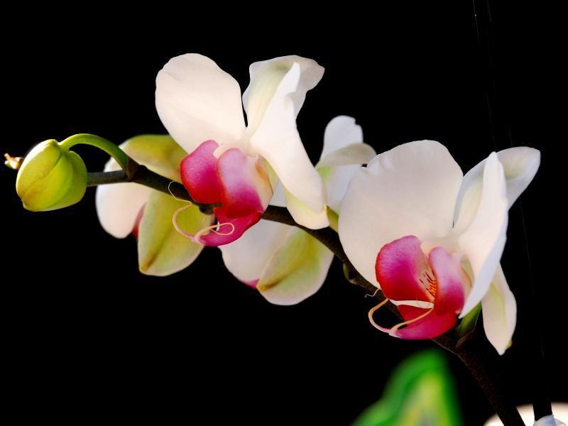 Encore les orchidees!! P9100010_zpsdfdbc512