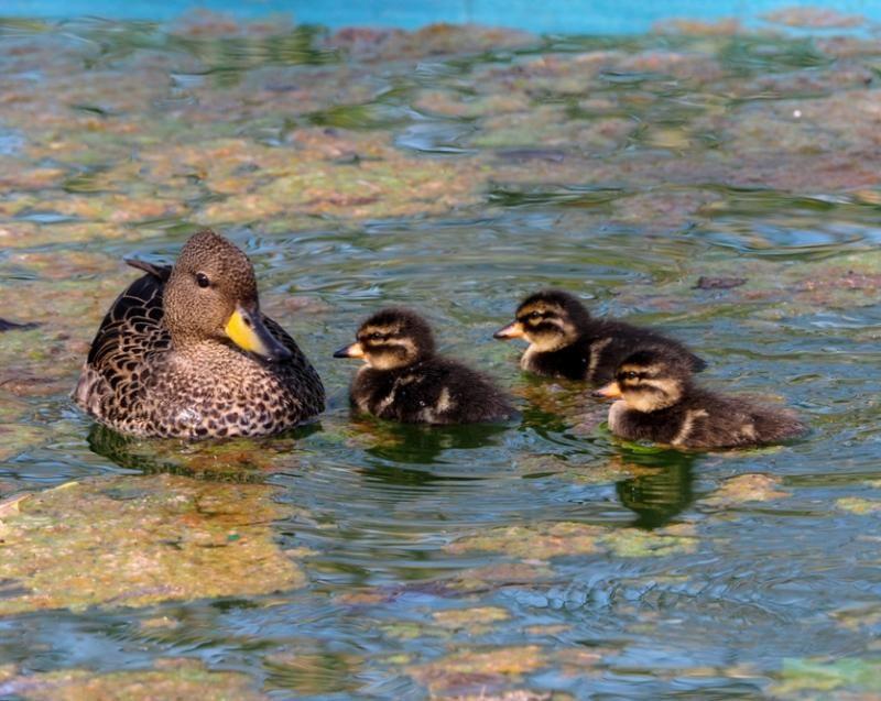 Famille de canards!! P9230006_zps86a091ba