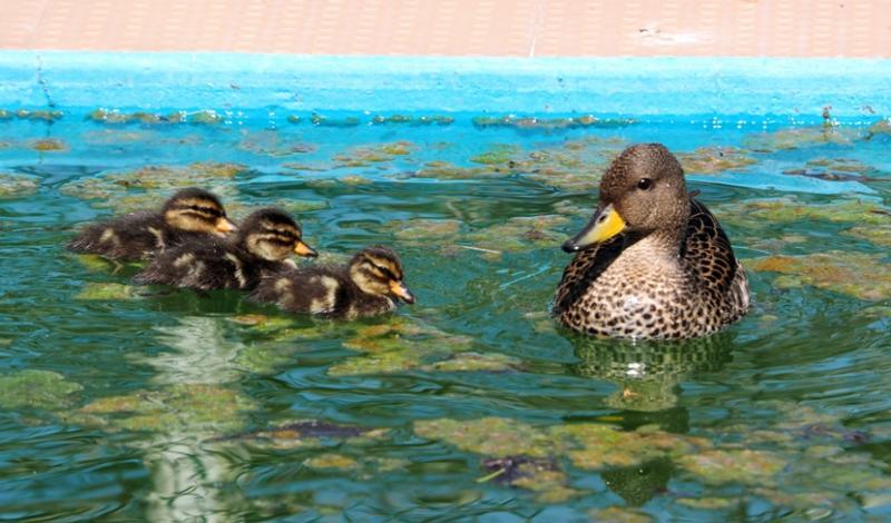 Famille de canards!! P9230013_zps23a99ea6