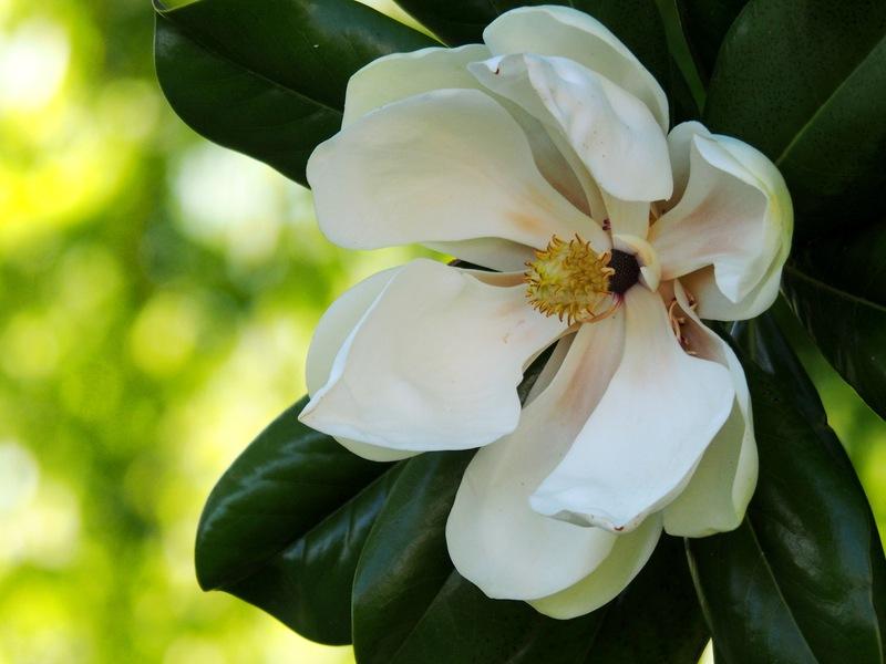 Magnolia au jardin PA290027_zpssriwtnuv