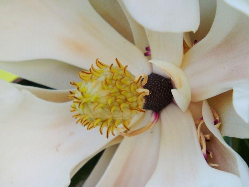 Magnolia au jardin PA290028_zpsavldsio4