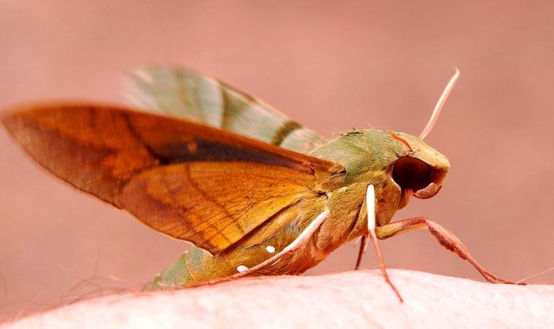 Eumorpha labruscae PB020010_zpsh3wrnvie