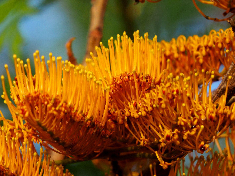 Fleur d'un arbre!!(Ajoute)(Grevillea_robusta) PB050010_zps28z3hy1x