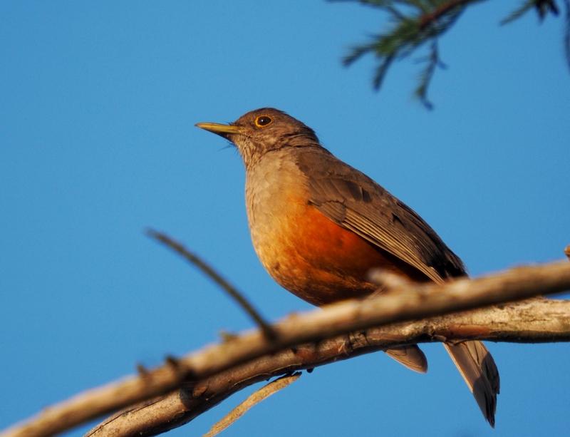 Oiseaux le soir!! PB050016_zpsay5ogtof
