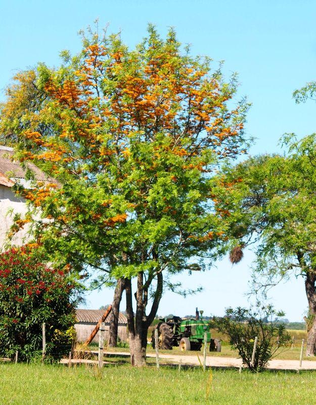 Fleur d'un arbre!!(Ajoute)(Grevillea_robusta) PB060033_zpsvqwt29q8