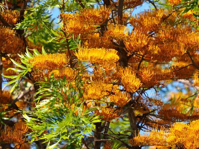 Fleur d'un arbre!!(Ajoute)(Grevillea_robusta) PB060034_zpsmmajj9sk