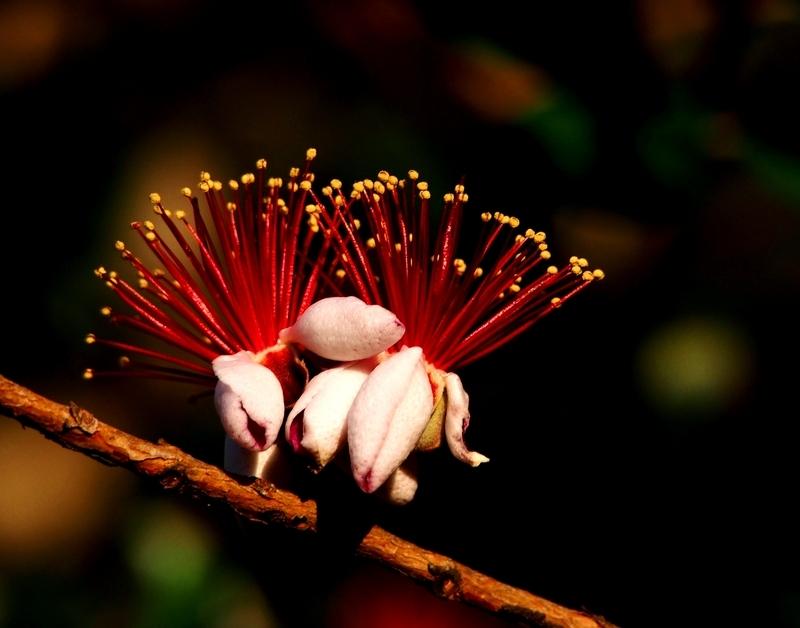 Feijoa sellowiana(Ajoute) PB130004_zps1igqtqbs