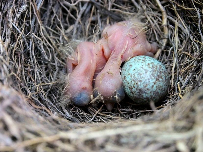 Un nid...De Merle a ventre roux-AJOUTE des images+PLUS+ PC100007_zps50b37896