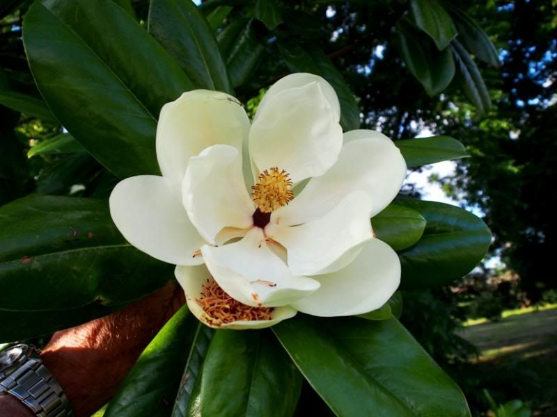 Magnolia!! PC100009_zps80a5182a