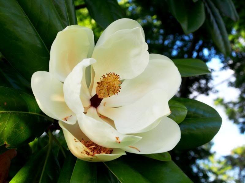 Magnolia!! PC100012_zps18c766b2