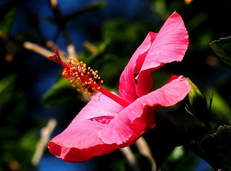 Hibiscus rouge PC110003_zpsa2msfhml