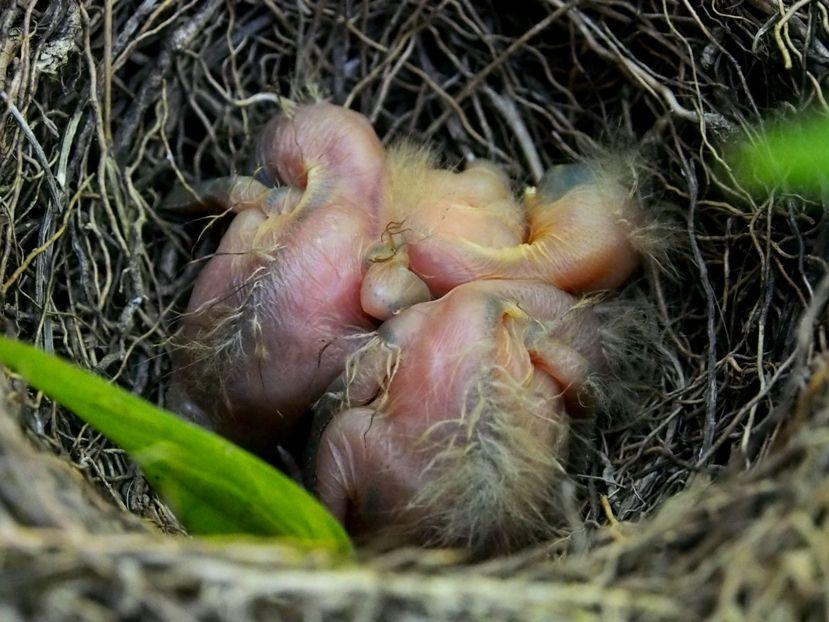 Un nid...De Merle a ventre roux-AJOUTE des images+PLUS+ PC120005_zpsa8874c39
