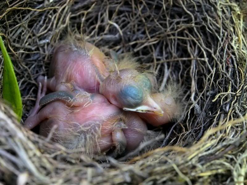Un nid...De Merle a ventre roux-AJOUTE des images+PLUS+ PC120006_zps1cd93dea