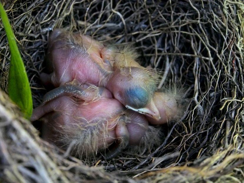 Un nid...De Merle a ventre roux-AJOUTE des images+PLUS+ PC120007_zps9d5570d3