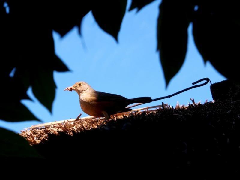 Un nid...De Merle a ventre roux-AJOUTE des images+PLUS+ PC120009_zps4853122a