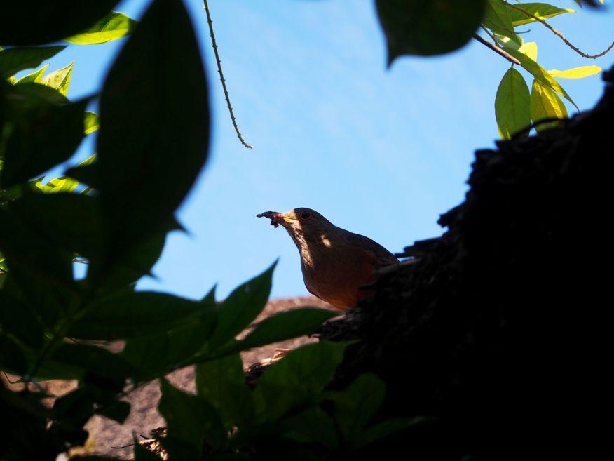 Un nid...De Merle a ventre roux-AJOUTE des images+PLUS+ PC120010_zpsc9d5b80c