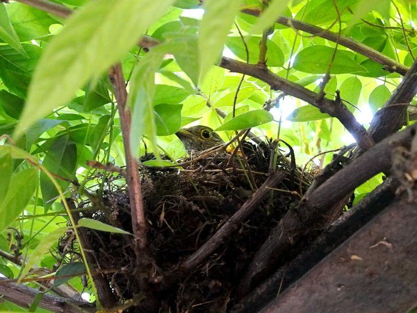 Un nid...De Merle a ventre roux-AJOUTE des images+PLUS+ PC120011_zps3b45fc8b