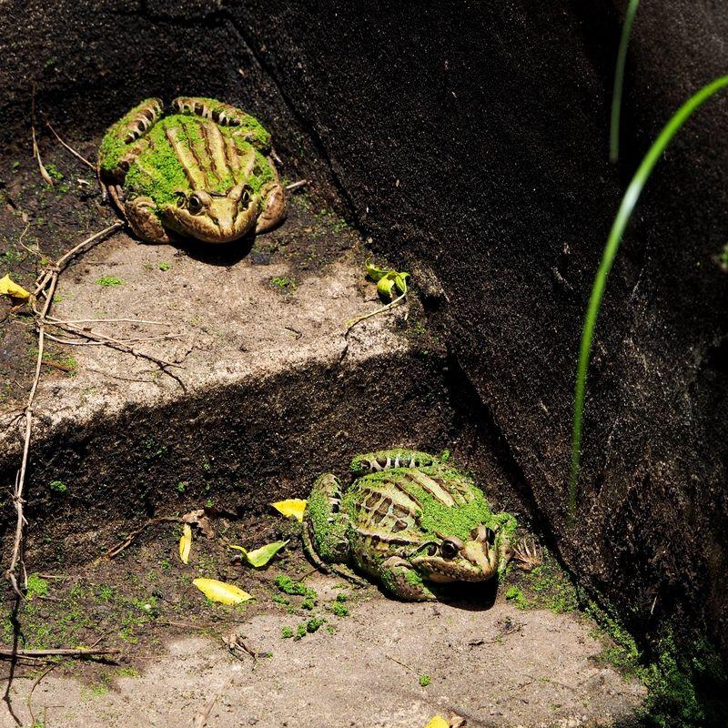 Voila les grenouilles!!(Ajoute) PC130005_zpsrqnadjw2