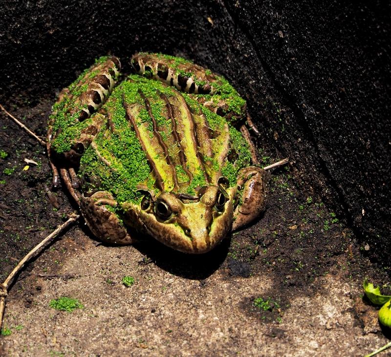 Voila les grenouilles!!(Ajoute) PC130011_zpsqgwxikvi