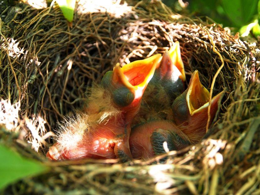 Un nid...De Merle a ventre roux-AJOUTE des images+PLUS+ PC130028_zps9e9deaf1