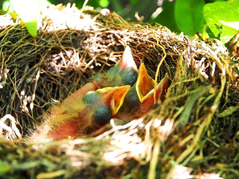 Un nid...De Merle a ventre roux-AJOUTE des images+PLUS+ PC130029_zps58687556