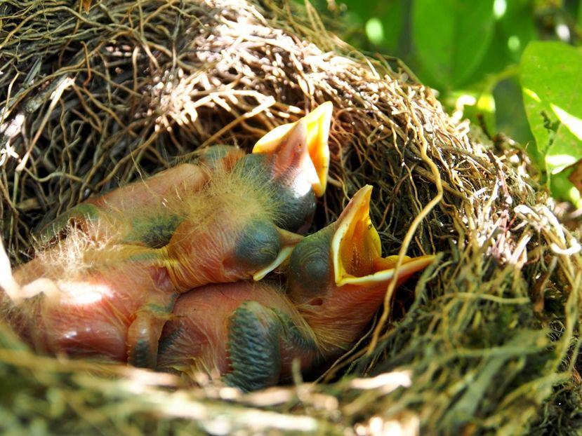 Un nid...De Merle a ventre roux-AJOUTE des images+PLUS+ PC130030_zps78091874