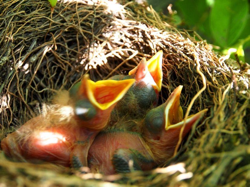 Un nid...De Merle a ventre roux-AJOUTE des images+PLUS+ PC130031_zps522feffc
