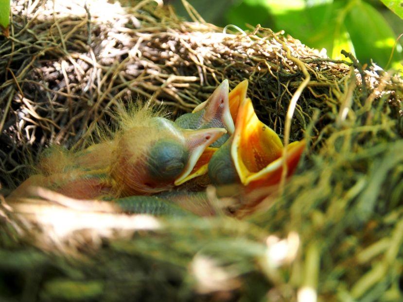 Un nid...De Merle a ventre roux-AJOUTE des images+PLUS+ PC130034_zps0394a647