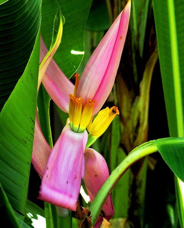 Fleurs du banannier et une autre!!(Ajoute) PC160007_zpsfjsc2sar