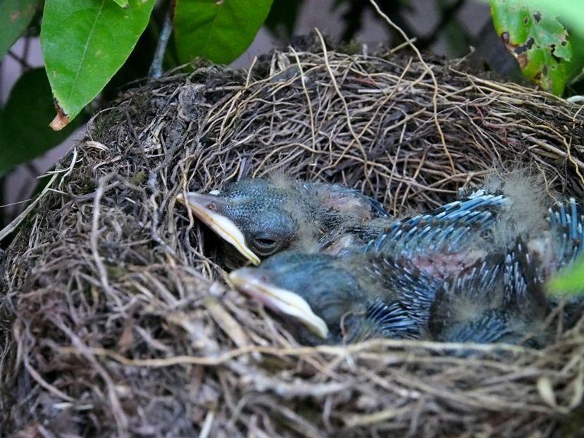 Un nid...De Merle a ventre roux-AJOUTE des images+PLUS+ PC180020_zpscac31784