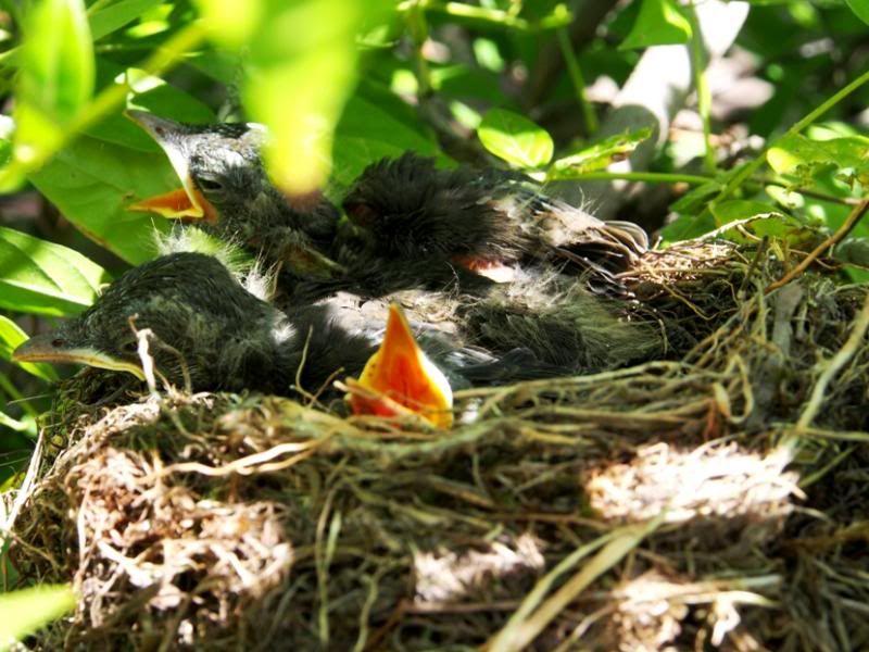 Un nid...De Merle a ventre roux-AJOUTE des images+PLUS+ PC200066_zps1f0b593a