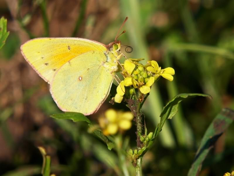 Papillon jaune!! CopiadeP2099270