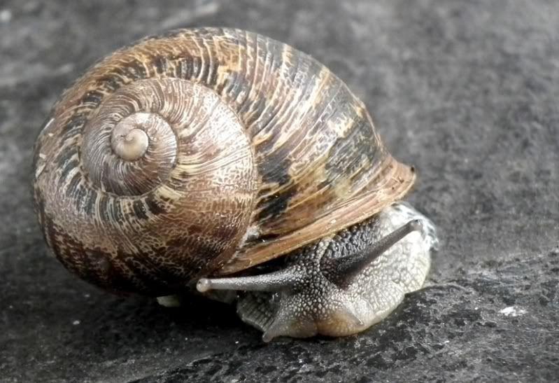 Escargot!!(Helix...) DSCF0817