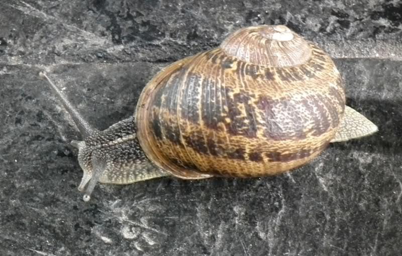 Escargot!!(Helix...) DSCF0828