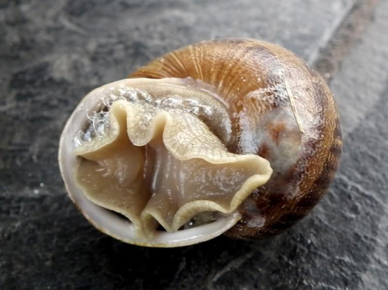 Escargot!!(Helix...) DSCF0829