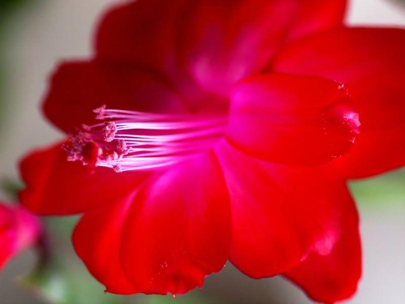 Fleurs rouges P6151053