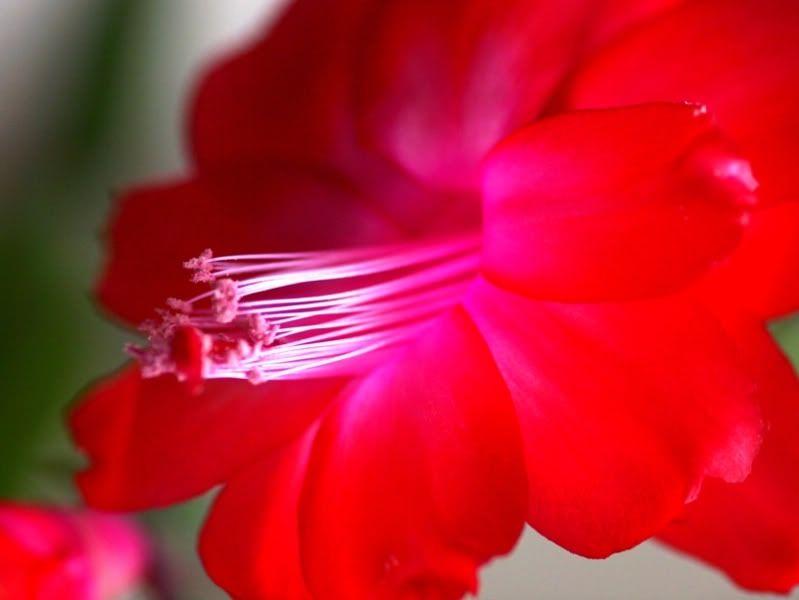 Fleurs rouges P6151055