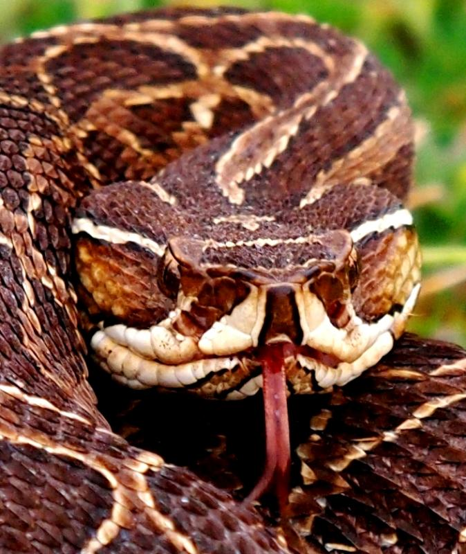 Bothrops alternatus,serpent au jardin(Ajout) PA0420653_zps2cf13031