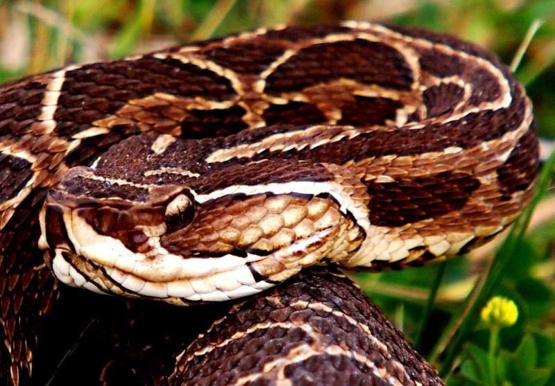 Bothrops alternatus,serpent au jardin(Ajout) PA042067b_zps6d022558