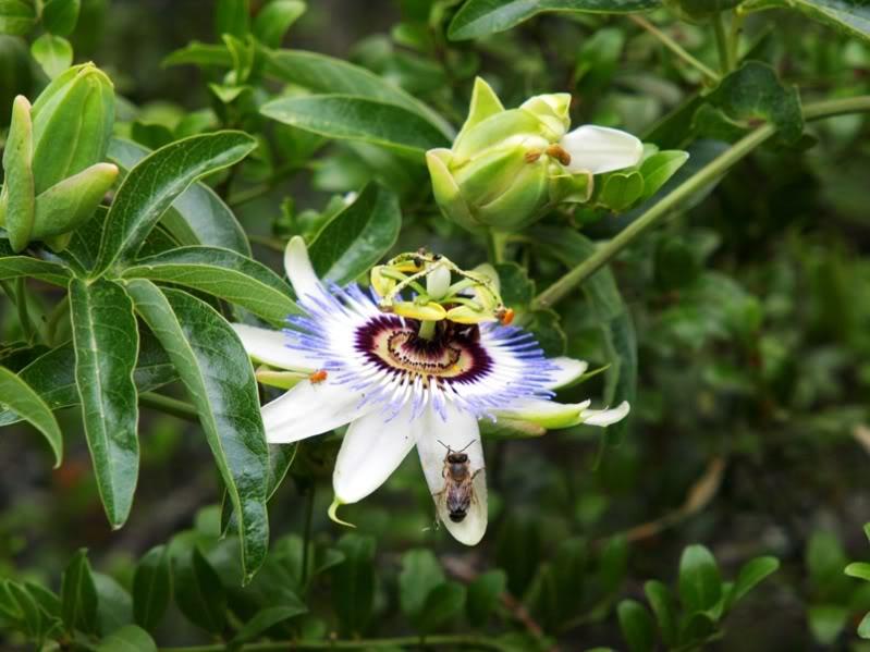 Fleur et fruit de passion!! PC091747