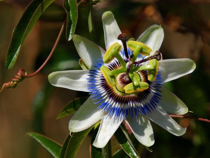 Fleur et fruit de passion!! PC111771