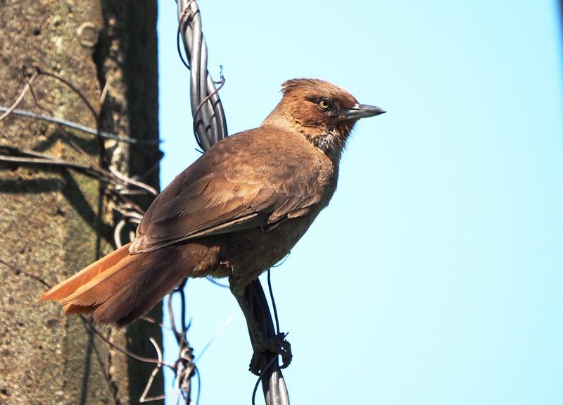 Cacholote brun PB040017_zpsl66ijowa