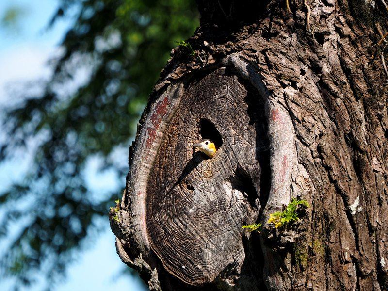 Le nid des pics(Ajoute)++ PB040024_zpswslv6vfe
