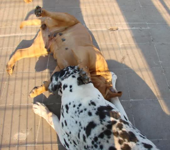 dogue allemand et dogue de bordeaux, c'est possible? DSC07974