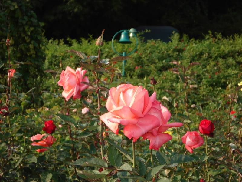 Rose Garden Picture094