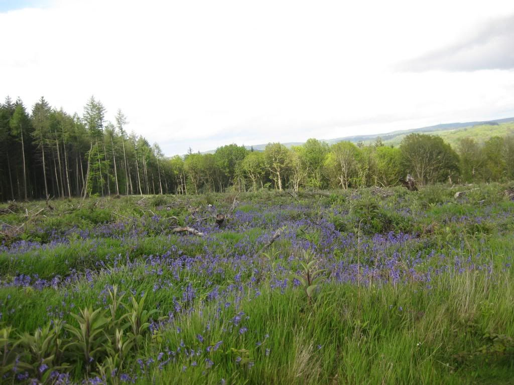 Our Blubell walk today (very pic heavy) IMG_3704_zps68ffff96
