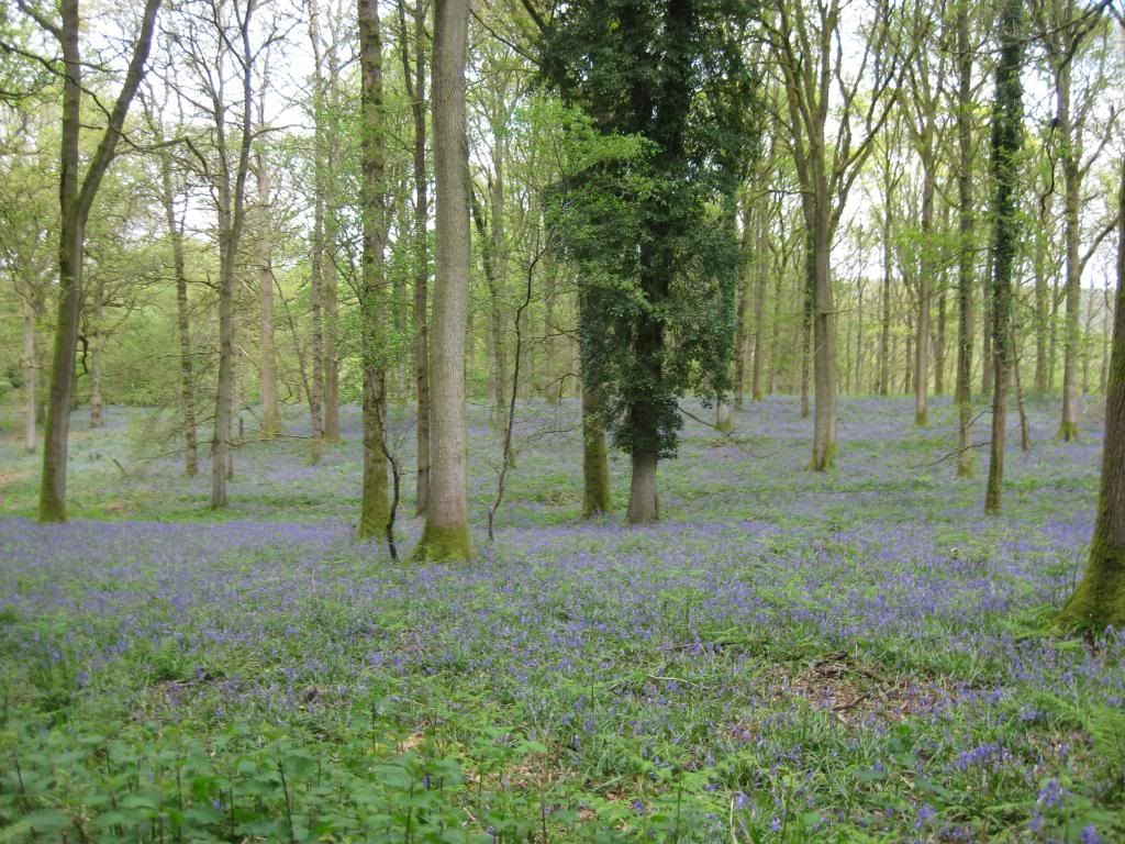 Our Blubell walk today (very pic heavy) IMG_3715_zps9faf2282